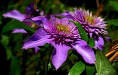 War schnell mal kurz im Garten. ... Jetzt geht`s dort so blühtechnisch langsam richtig los. Auch bei den Clematis. :-) http://de.wikipedia.org/wiki/Waldreben