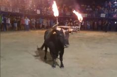 Watch: Man who taunts angry bull with FLAMING HORNS gets gored - Mirror Online