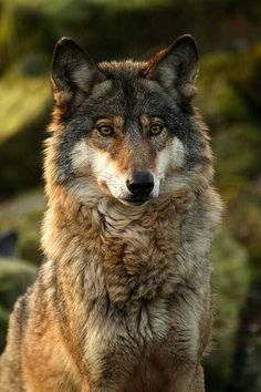 Something's captured Beautiful Wolf's attention.
