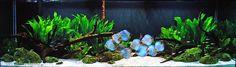 Diskus Aquarium, Nature Aquarium, Aquarium Design, Planted Aquarium, Discus Tank, Tropical Fish Tanks, Cool Tanks, Perfect Plants, Aquatic Plants