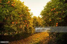 Stock Photo : Orange orchard at sunset