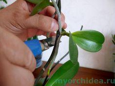 Корни орхидеи – что нужно знать начинающему флористу