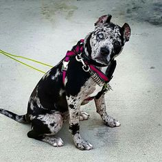 http://rent2own.digimkts.com/  Now I can have it all  buy a home fixer upper  pit bull - Please support your local shelter and rescue groups and adopt, never shop, for your next furry family member.  They will make sure your pet is spayed or neutered and micro chipped.  Won't you open up your responsible, healthy and forever home to a deserving animal?  Please don't breed or buy while shelter animals die.  Thanks