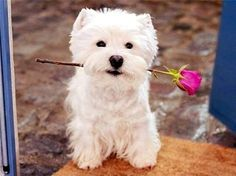West Highland Terrier - Such a cutie! West Highland Terrier, Animals And Pets, Baby Animals, Cute Animals, White Puppies, Dogs And Puppies, Doggies, I Love Dogs, Cute Dogs