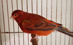 65 Ideas De Rwq Canario Ave Canarios Rojos Animales