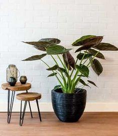 Grote kamerplant in grote plantenbak croco look, pracht caryota
