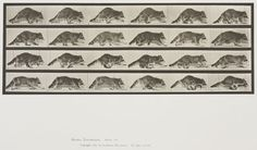 Eadweard Muybridge (American, b. England, 1830-1904)  Plate 744 from Animal Locomotion, 1887  Raccoon walking, changing to a gallop.   Collotype on paper, 13-3/4 x 19-3/4 in.   Gift of Mrs. Jill Tane.  1995.16.28