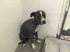 #A4809408 I'm an approximately 10 year old female pit bull. I am not yet spayed. I have been at the Carson Animal Care Center since March 18, 2015. I will be available on March 22, 2015. You can visit me at my temporary home at C109. Carson Shelter, Gardena, California https://www.facebook.com/171850219654287/photos/pb.171850219654287.-2207520000.1426794512./385611204944853/?type=3&theater