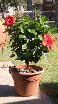 Braided Hibiscus Tree