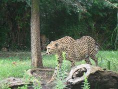 Cheetah - St. Louis Zoo - 08/2010 St Louis, Cheetah, Photography, Animals, Photograph, Animales, Animaux, Fotografie, Photoshoot