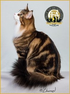 maine coon show cat - Google Search