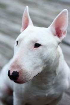 all-things-bright-and-beyootiful: Bull Terrier by luke brennan