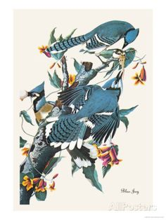 Blue Jay Photo by John James Audubon at AllPosters.com