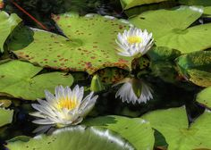 southern lilies,water lilies,water lily,lily pad,water lillies,lily pad,lilly pad,water lilly,southern wetlands,southern water,north west florida,northwest florida,the florida panhandle,south alabama,south al,jc findley,southern accents,deeply southern