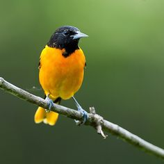 Good Morning!!! One of my favorite migratory birds...the Baltimore Oriole. Have a happy weekend, friends!❤️