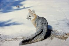 Yosemite Grey Fox