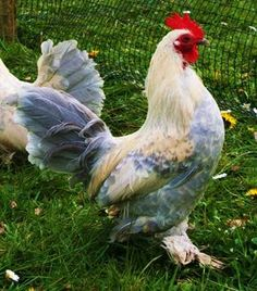 Lemon & Porcelain Millefleur Sablepoots - Rosie's Rare Breed Poultry