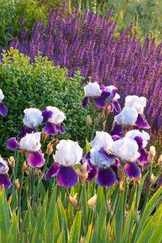 Garden Ideas, Border ideas, Perennial Planting, Perennial combination, Spring Borders, Summer Borders, Salvia Nemorosa, Salvia Mainacht, Iris Germanica, Bearded Iris, Iris Royal Storm, Bicolor Irises