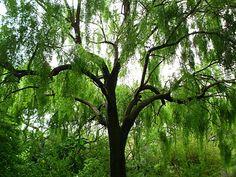 Maytenus boaria- Mayten Tree; alternative to willow (lower water)
