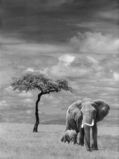 Adult African Elephant with Calf Photographic Print at Art.com