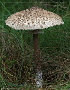 ˚Parasol (Macrolepiota procera) Large Mushroom, Mushroom Art, Mushroom Fungi, Salisbury Plain, Stuffed Mushrooms, Fungi, Mushrooms, Edible Mushrooms, Hipster Stuff