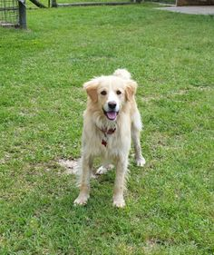 Meet Larry a Petfinder adoptable Golden Retriever Dog | BONIFAY, FL | Meet Larry, a young male golden mix that is very laid back and well behaved.  He gets along with...