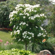 A Unique and Adorable Tree for Every Season! - Brighten up your landscape with an adorable version of a Dogwood. The Dwarf Dogwood