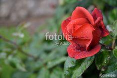 Rosa rossa bagnata dalla pioggia