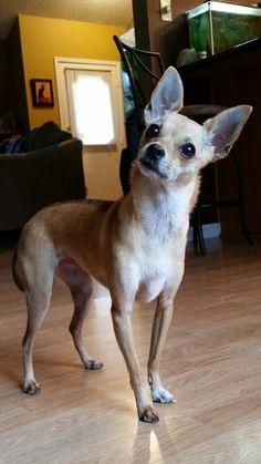 ☆ Twinkles ☆ the deer head Chihuahua