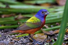 Painted bunting. Green Cay Westlands, Boynton Beach, Florida