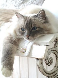 rag doll. This is my dream cat.