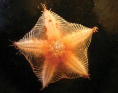 An Arctic sea star discovered on the floor of the deep sea.