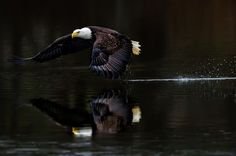 Calm Waters - An adult bald eagle picking up his morning catch somewhere on the Chesapeake Bay.