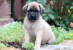 "The breed is commonly referred to as the ""Mastiff"". Also known as the English Mastiff this giant dog breed gets known for its splendid, good natu Mastiff Puppies For Sale, Boxer Puppies For Sale, English Mastiff Puppies, Puppies Puppies, Mastiff Breeds, Mastiff Mix, Mastiff Dogs, Giant Dog Breeds, Giant Dogs"
