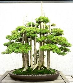 Indoor Bonsai Tree Care Tips And Instructions
