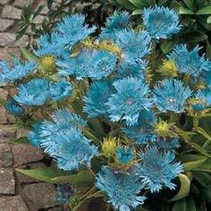 Stoke's Aster 'Blue Danube' Deer and draught  resistant