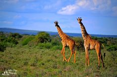 African Giraffe, Change, Canning, Animals, Animales, Animaux, Animal, Animais, Home Canning