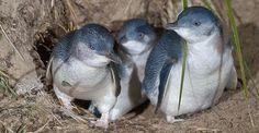 Pinguini salvati dall'estinzione grazie ai cani pastore maremmani