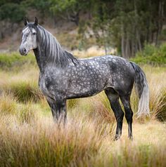 Young Lusitano stallion in its native Portugal. photo: Ekaterina Druz.