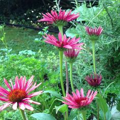 """Echinacea """"Twilight"""" (Coneflower) - a dependable perennial with smaller, rosy blooms"""