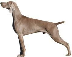 Image result for weimaraner silhouette