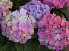 From 'Limelight' to 'L. Dreamin' to 'Peppermint Swirl' discover colorful hydrangea varieties to add to your garden. Types Of Hydrangeas, Hydrangea Varieties, Hydrangea Bloom, Hydrangea Care, Hydrangea Not Blooming, Hydrangea Flower, Growing Hydrangea, Hydrangea Shrub, Hydrangea Macrophylla