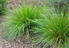 When and how to split ornamental grasses