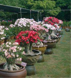 rosa do deserto imagens - Pesquisa Google Bonsai Art, Bonsai Plants, Garden Terrarium, Bonsai Garden, Tropical Garden, Tropical Plants, Dessert Rose Plant, Easy To Grow Houseplants, Orquideas Cymbidium
