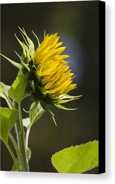 Sunflower Bright Side Canvas Print by Christina Rollo.  All canvas prints are professionally printed, assembled, and shipped within 3 - 4 business days and delivered ready-to-hang on your wall. Choose from multiple print sizes, border colors, and canvas materials.