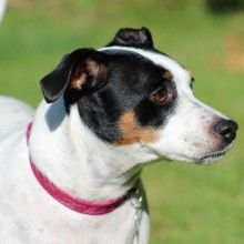 Jack Russell - Jess @ The Dog House, Watford. Dog Walking Service.