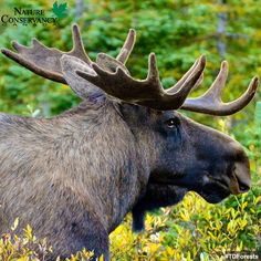 Canada Website, Forest Conservation, Aspen Trees, Great Lakes, Moose, North America, Spruce Pine, Wildlife, Creatures
