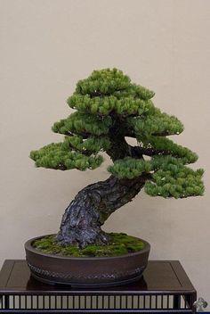 New Bonsai Tree Tattoo Website 31 Ideas Bonsai Acer, Pine Bonsai, Bonsai Plants, Bonsai Garden, Juniper Bonsai, Succulents Garden, Cactus Plants, Ikebana, Plantas Bonsai