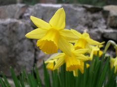 Narcissus 'Tete-a-Tete' - very early blooming