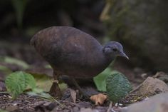 The Little Tinamou  (Crypturellus soui modestus) comes out only when it's dark